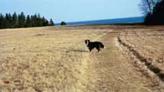 A black dog; Size=240 pixels wide